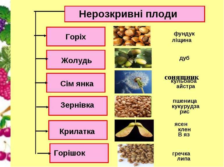 Нерозкривні плоди Горіх Сім янка Жолудь Зернівка Крилатка Горішок В яз ясен л...