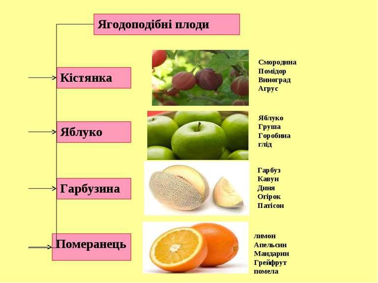 Ягодоподібні плоди Кістянка Яблуко Гарбузина Померанець Смородина Помідор Вин...