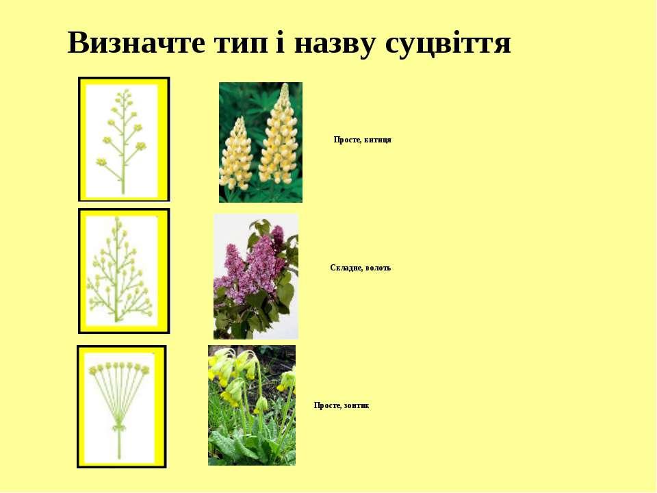 Визначте тип і назву суцвіття Просте, китиця Складне, волоть Просте, зонтик