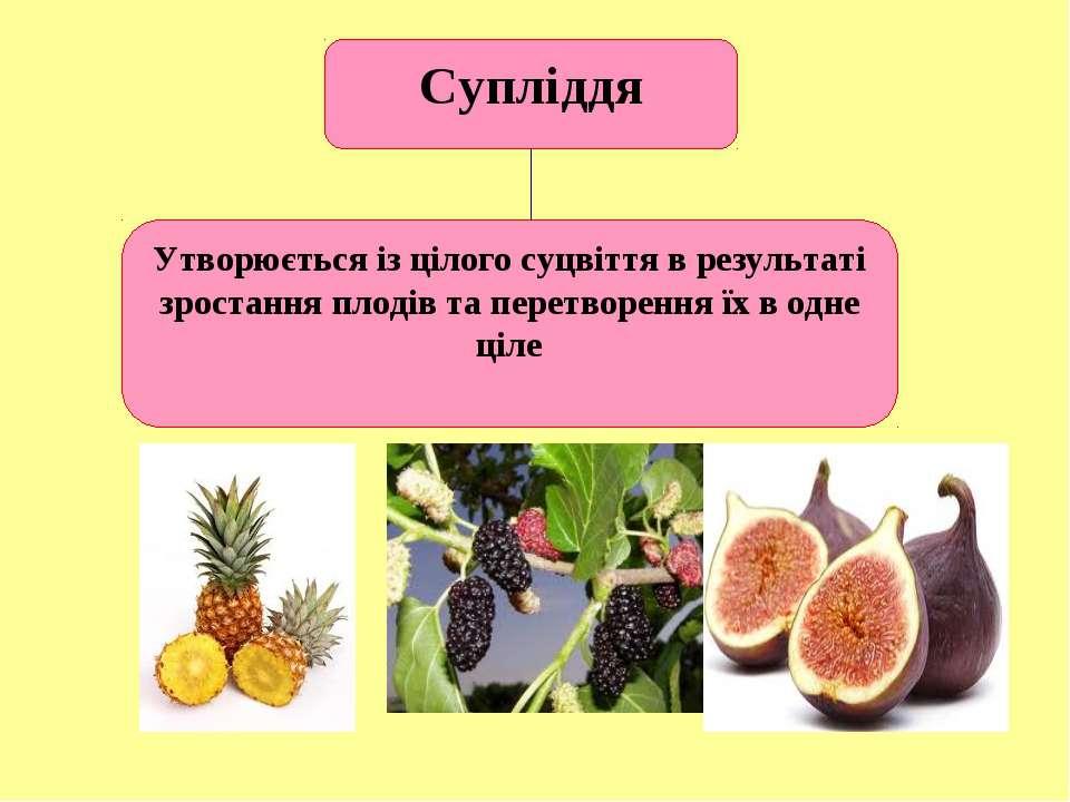 Супліддя Утворюється із цілого суцвіття в результаті зростання плодів та пере...