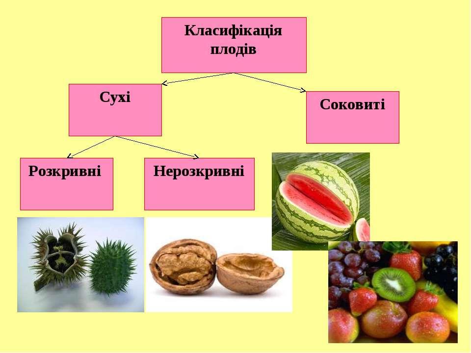 Класифікація плодів Нерозкривні Розкривні Сухі Соковиті