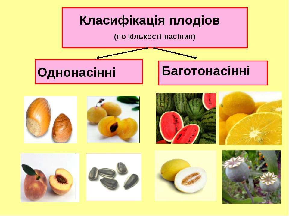 Класифікація плодіов (по кількості насінин) Однонасінні Баготонасінні