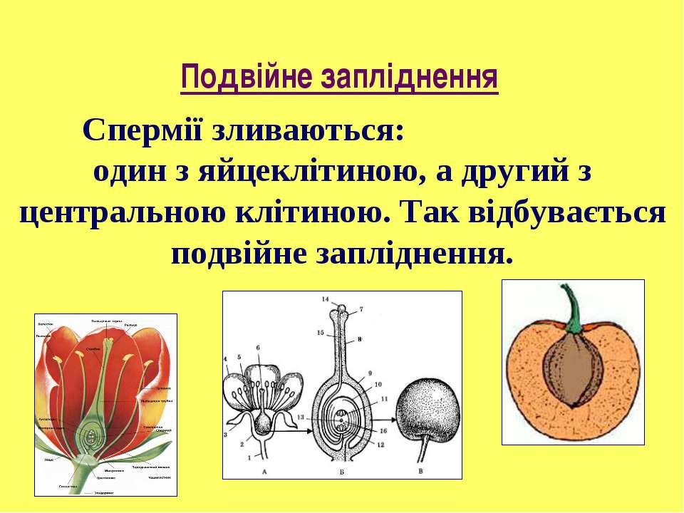 Спермії зливаються: один з яйцеклітиною, а другий з центральною клітиною. Так...