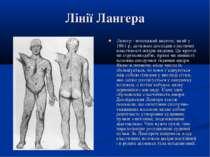 Лінії Лангера Лангер - німецький анатом, який у 1861 р. детально дослідив ела...