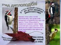 Кричать птахи обох статей протягом року, при цьому їхній репертуар не відрізн...