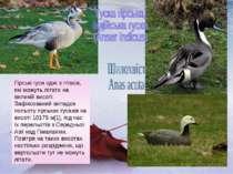 Гірські гуси одні з птахів, які можуть літати на великій висоті. Зафіксований...