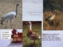 Степовий журавель в Одеському зоопарку Найважчою з сучасних птахів, які літаю...