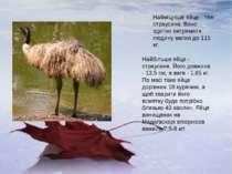 Найміцніше яйце - теж страусине. Воно здатне витримати людину вагою до 115 кг...