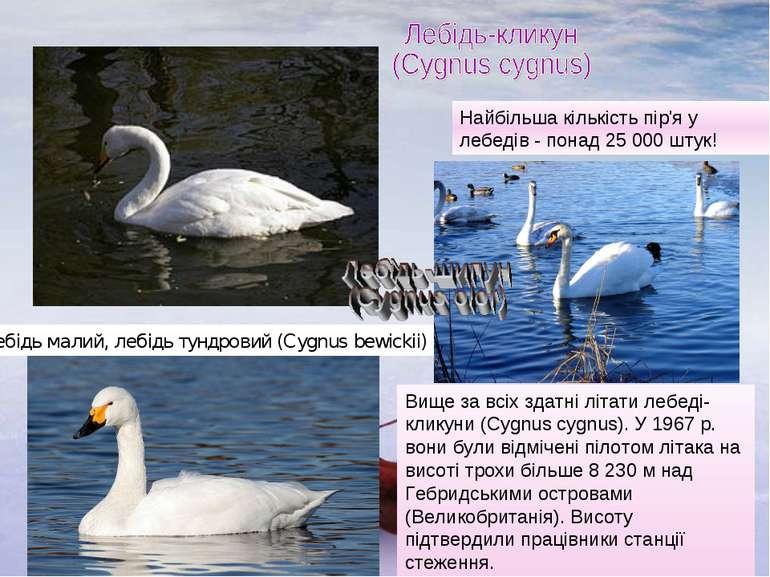 Лебідь малий, лебідь тундровий (Cygnus bewickii) Вище за всіх здатні літати л...