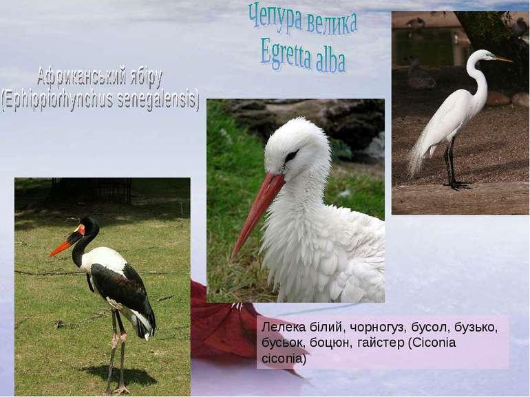 Лелека білий, чорногуз, бусол, бузько, бусьок, боцюн, гайстер (Ciconia ciconia)