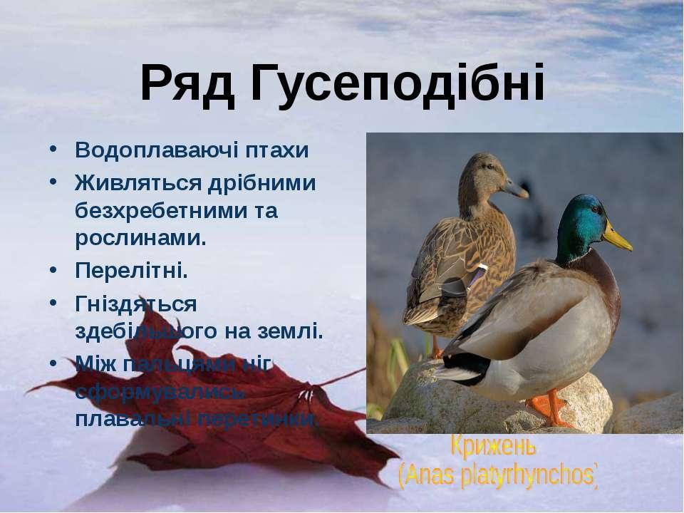 Ряд Гусеподібні Водоплаваючі птахи Живляться дрібними безхребетними та рослин...