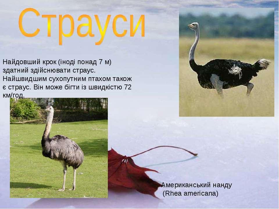 Американський нанду (Rhea americana) Найдовший крок (іноді понад 7 м) здатний...