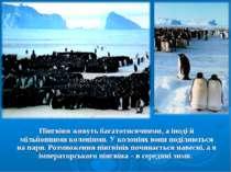 Пінгвіни живуть багатотисячними, а іноді й мільйонними колоніями. У колоніях ...