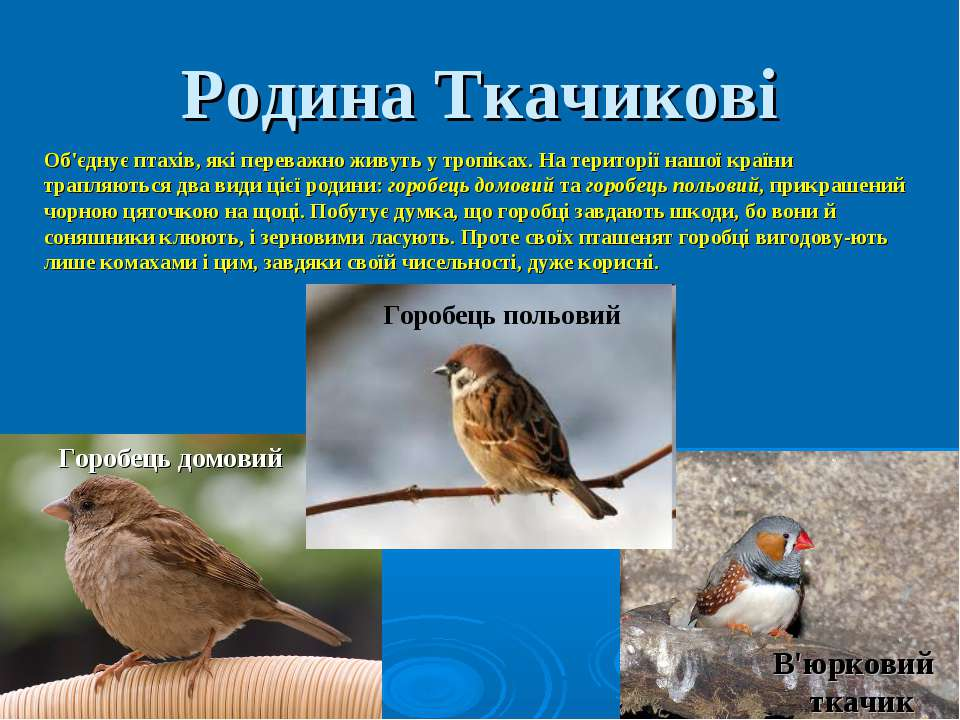 Родина Ткачикові Об'єднує птахів, які переважно живуть у тропіках. На територ...