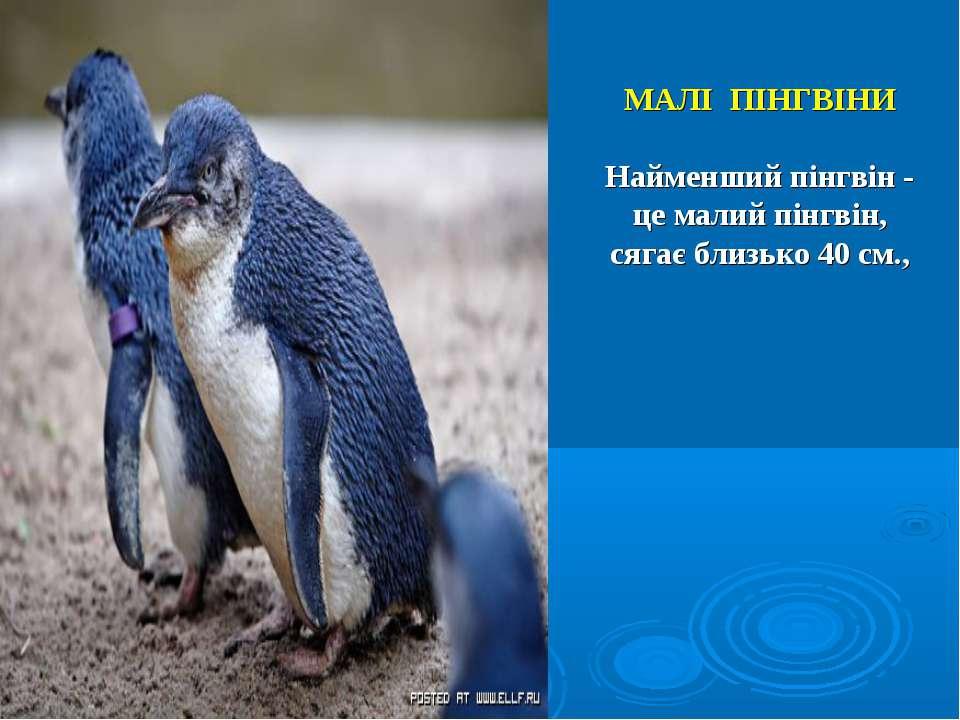 МАЛІ ПІНГВІНИ Найменший пінгвін - це малий пінгвін, сягає близько 40 см.,