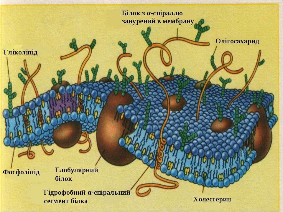 Холестерин Білок з α-спіраллю занурений в мембрану Гліколіпід Фосфоліпід Глоб...