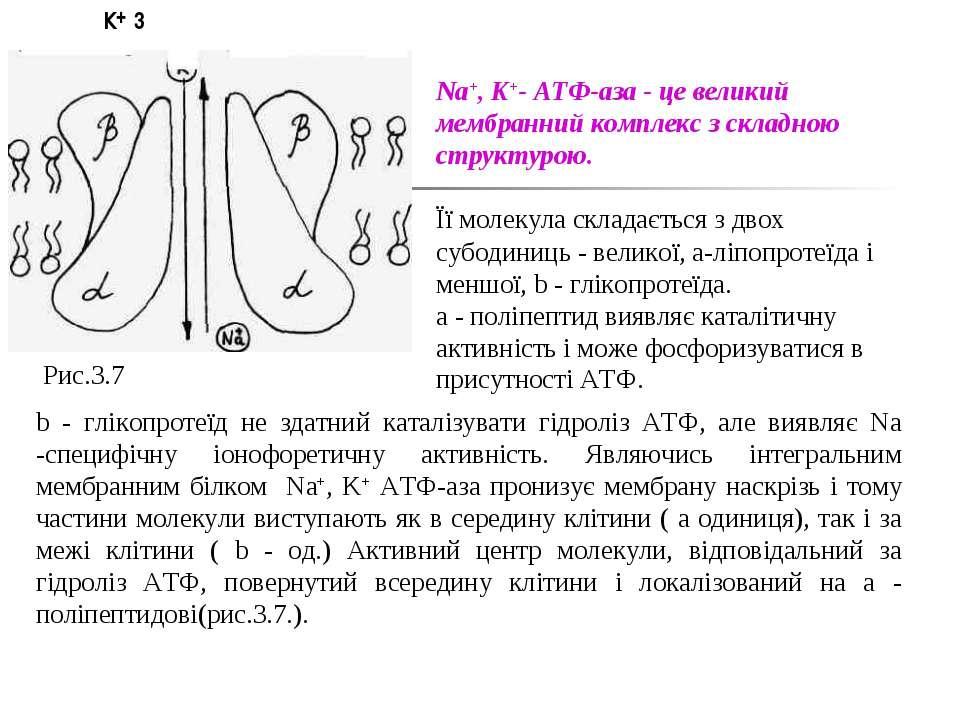 Рис.3.7 К 3 + Na+, K+- АТФ-аза - це великий мембранний комплекс з складною ст...