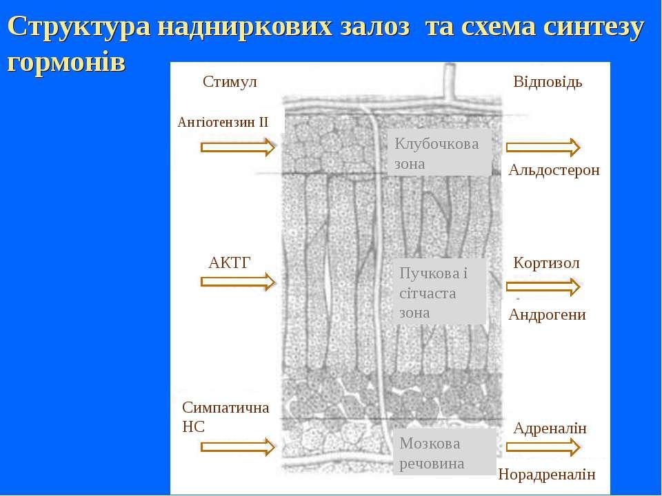Структура надниркових залоз та схема синтезу гормонів Ангіотензин II Відповід...