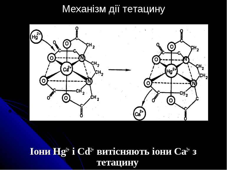 Механізм дії тетацину Іони Hg2+ і Cd2+ витісняють іони Ca2+ з тетацину