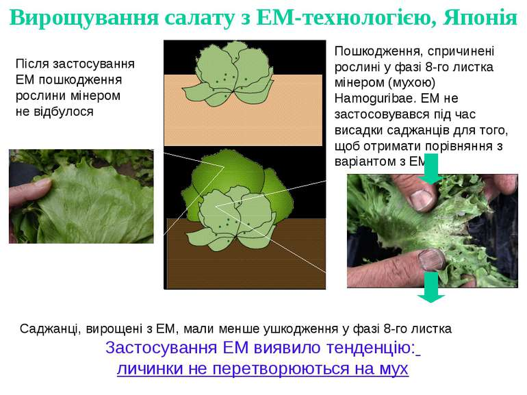 Пошкодження, спричинені рослині у фазі 8-го листка мінером (мухою) Hamoguriba...