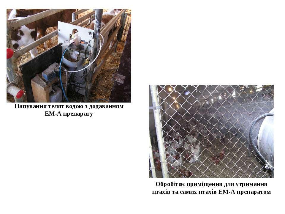 Напування телят водою з додаванням ЕМ-А препарату Обробіток приміщення для ут...