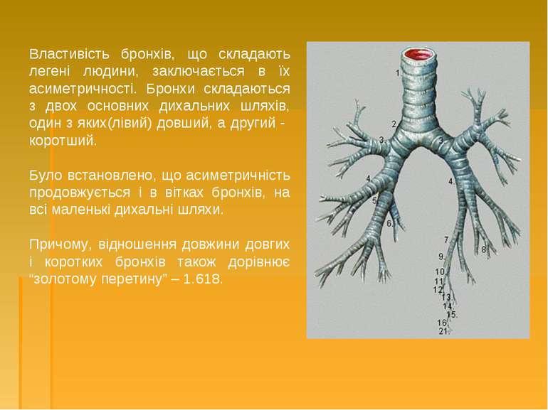 Властивість бронхів, що складають легені людини, заключається в їх асиметричн...