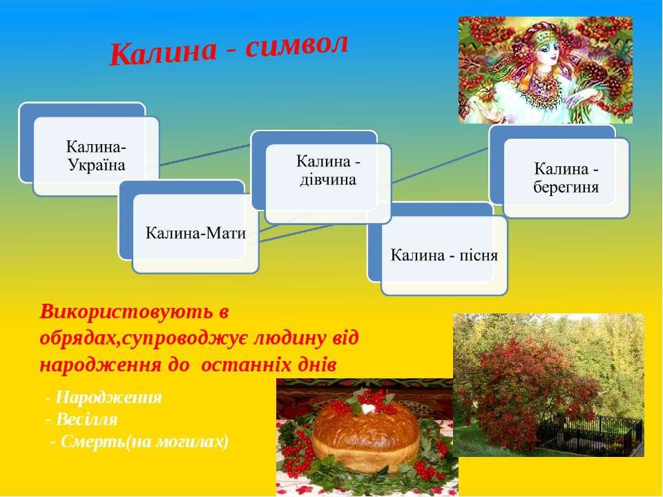 Калина - символ Використовують в обрядах,супроводжує людину від народження до...