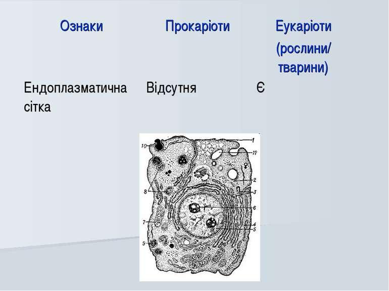 Ознаки Прокаріоти Еукаріоти (рослини/ тварини) Ендоплазматична сітка Відсутня Є