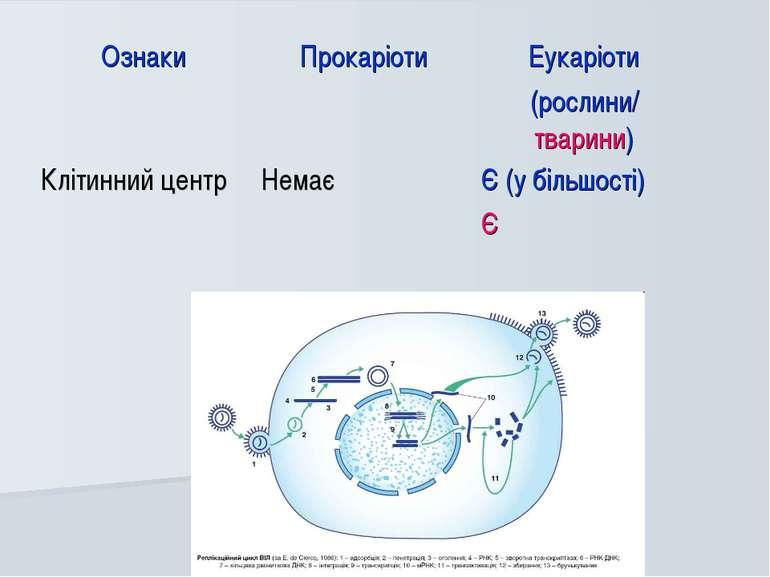 Ознаки Прокаріоти Еукаріоти (рослини/ тварини) Клітинний центр Немає Є (у біл...