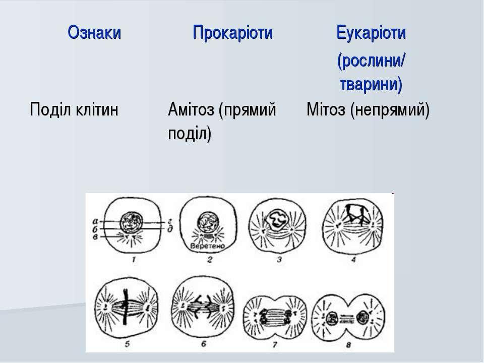 Ознаки Прокаріоти Еукаріоти (рослини/ тварини) Поділ клітин Амітоз (прямий по...