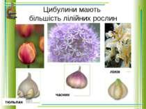 Цибулини мають більшість лілійних рослин тюльпан лілія часник