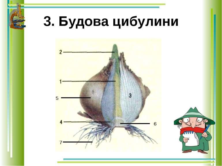 3. Будова цибулини 5 7 6
