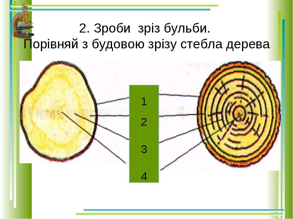 2. Зроби зріз бульби. Порівняй з будовою зрізу стебла дерева 1 2 3 4