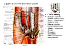 Хірургічна анатомія пахвинного каналу Стінки каналу Верхня - нижніми краями в...