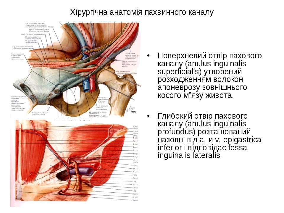 Хірургічна анатомія пахвинного каналу Поверхневий отвір пахового каналу (anul...