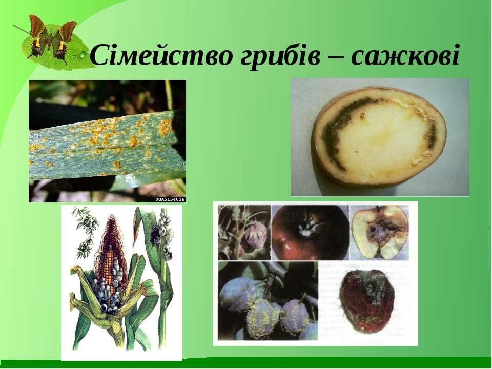 Сімейство грибів – сажкові