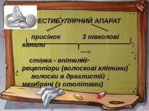 ВЕСТИБУЛЯРНИЙ АПАРАТ присінок 3 півколові канали стінка - епітелій рецептори ...