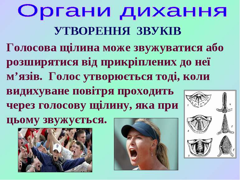 УТВОРЕННЯ ЗВУКІВ Голосова щілина може звужуватися або розширятися від прикріп...