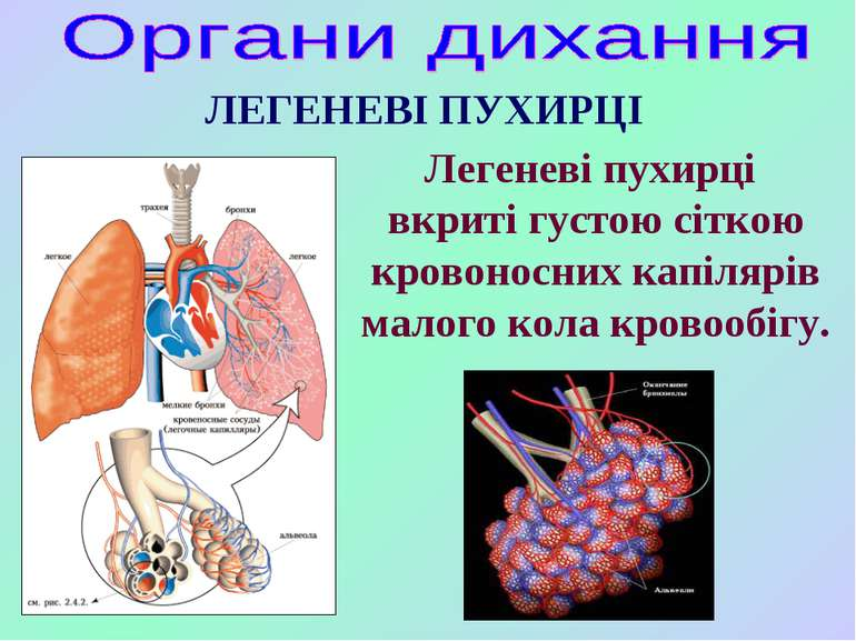 ЛЕГЕНЕВІ ПУХИРЦІ Легеневі пухирці вкриті густою сіткою кровоносних капілярів ...