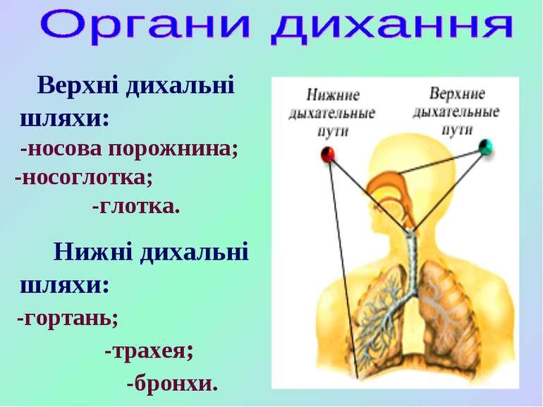 Верхні дихальні шляхи: -носова порожнина; -носоглотка; -глотка. Нижні дихальн...