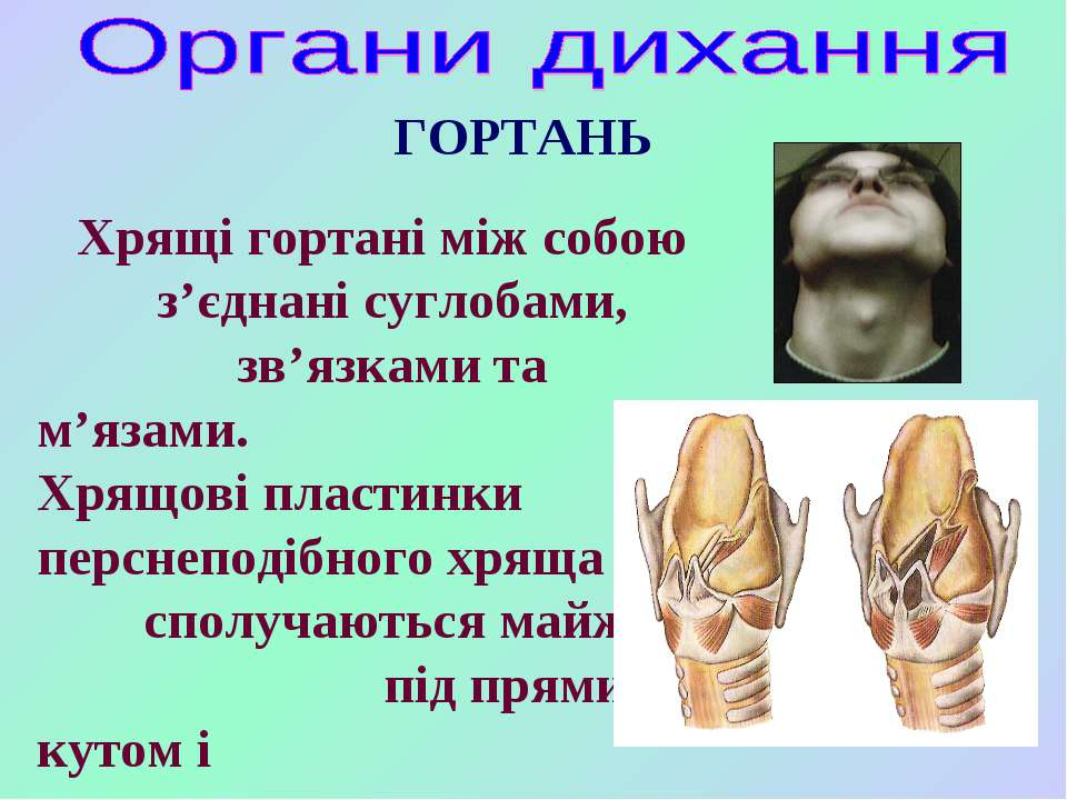 ГОРТАНЬ Хрящі гортані між собою з'єднані суглобами, зв'язками та м'язами. Хря...