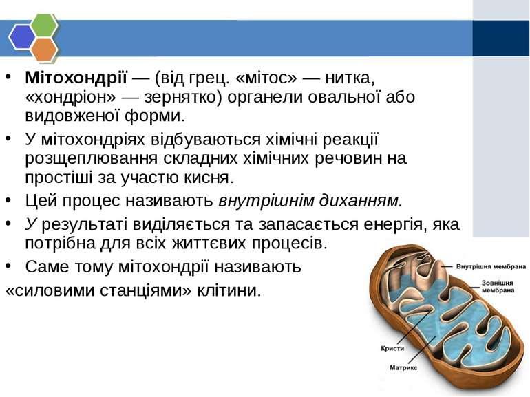 Мітохондрії — (від грец. «мітос» — нитка, «хондріон» — зернятко) органели ова...