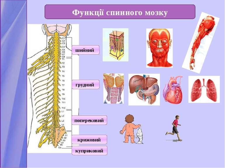Функції спинного мозку шийний грудний поперековий крижовий куприковий