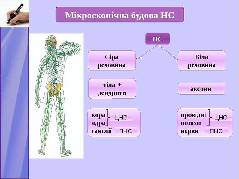 НС Сіра речовина Мікроскопічна будова НС Біла речовина тіла + дендрити аксони...