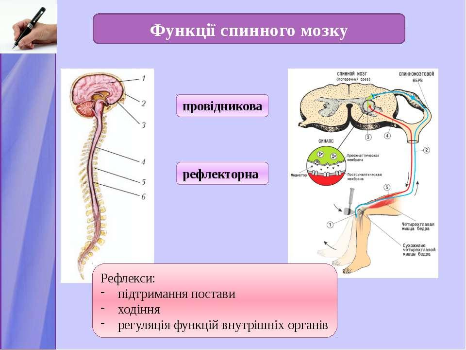 Функції спинного мозку провідникова рефлекторна Рефлекси: підтримання постави...