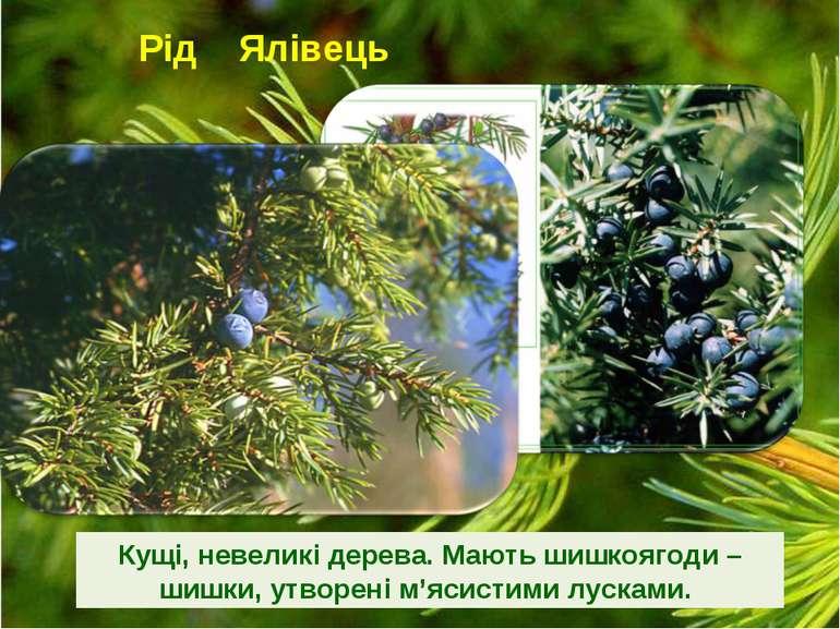 Рід Ялівець Кущі, невеликі дерева. Мають шишкоягоди – шишки, утворені м'ясист...