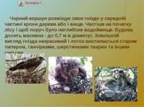 Чорний коршун розміщує своє гніздо у середній частині крони дерева або і вище...