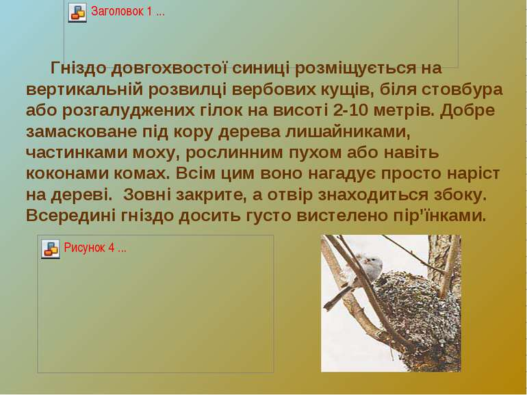 Гніздо довгохвостої синиці розміщується на вертикальній розвилці вербових кущ...