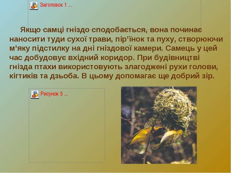 Якщо самці гніздо сподобається, вона починає наносити туди сухої трави, пір'ї...