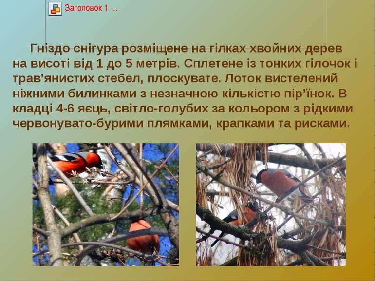 Гніздо снігура розміщене на гілках хвойних дерев на висоті від 1 до 5 метрів....